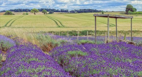 Janet Richardson Shropshire Lavender