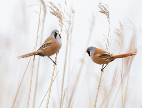6th Place Bearded Reedlings by Howard Broadbent