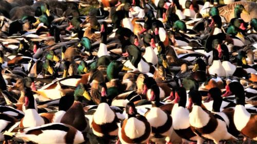 20 C Int Ducks by Simon Blackmore