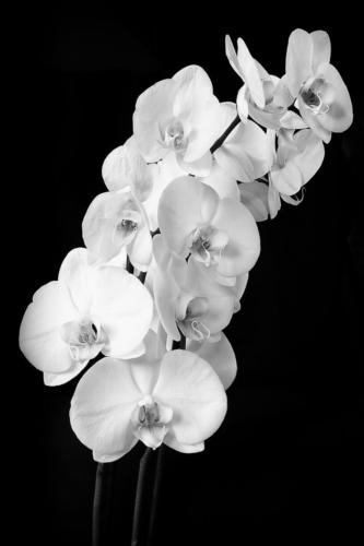 17 Intermediate C Mono Orchid by Andy Brooks