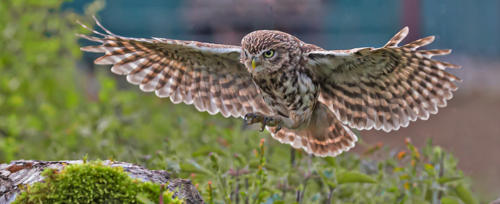 13 Intermediate 5th place Backlit Little Owl by Brian Kerrison