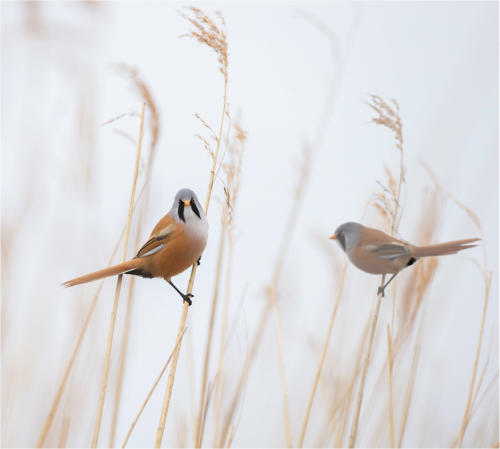 07 Advanced HC Bearded Reedlings by Howard Broadbent