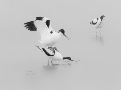 12 Intermediate 4th place Mating Avocets by Andy Brooks