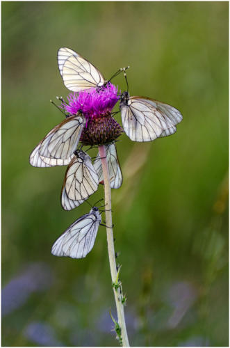 03 Advanced 3rd Place Roosting Black Veined Whites by Jim Shaw