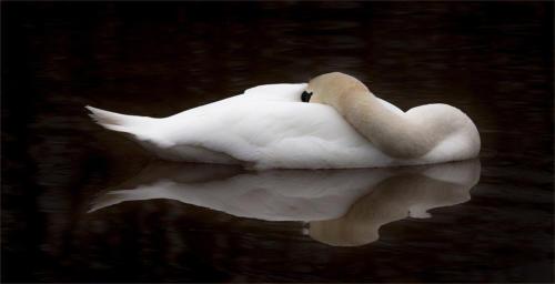 10 Intermediate 2nd place Sleeping Swan by Mike Padden