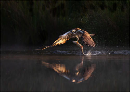 09 Advanced C Early Bird, Osprey with Trout by Howard Broadbent