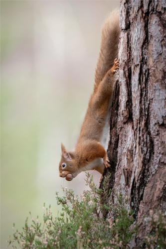 13 Intermediate 4th Place Red Squirrel by Yvette Turpin