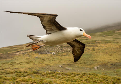 17 HC Int Black Browed Albatross by Dave Dale