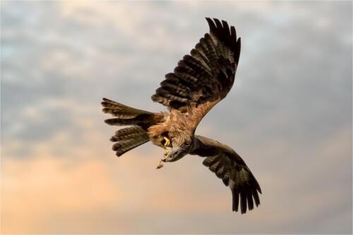 01 1st Adv Black Kite with Catch by Edward Kosinski