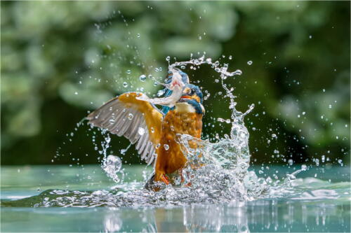 02 2nd Place Adv Kingfisher with Prey by Dave Shrubb