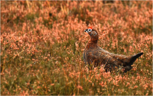 09 C Adv Red Grouse by Jim Shaw