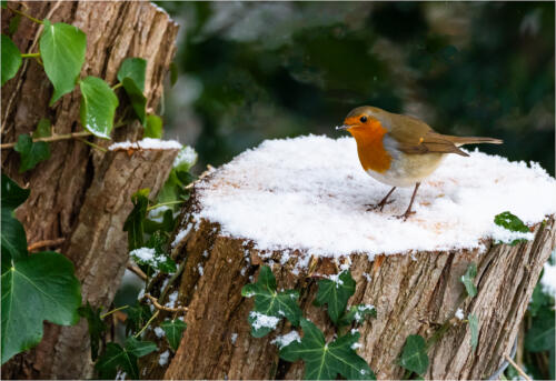 19 C Int Robin Looking For Food by Dave Dale