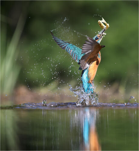01 Adv 1st Place Kingfisher With Catch by Howard Broadbent