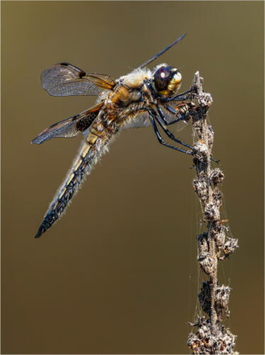09 Adv C Spotted Male 4 Spotted Chaser by Dave Shrubb