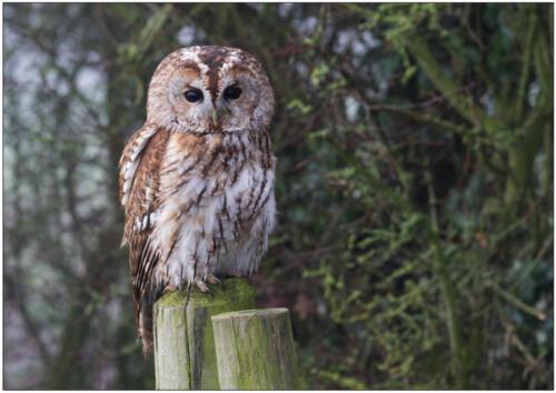 11 C Tawny Owl by Brian Truslove