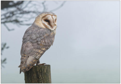 13 Int 4th Place Barn Owl by Brian Truslove