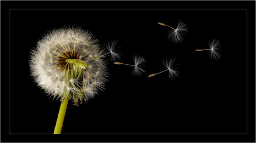 01 Adv 1st Place Dandelion in the Breeze by Howard Broadbent