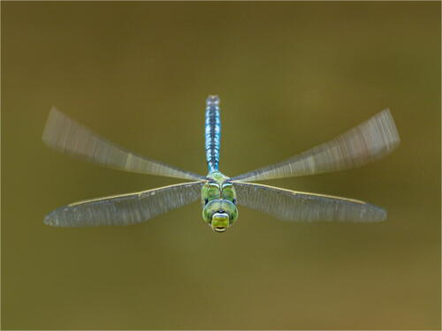 02  Adv 2nd Place Female Emperor Hawker by Dave Shrubb