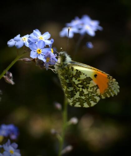 12 Int 3rd Place Orange Tip Butterfly