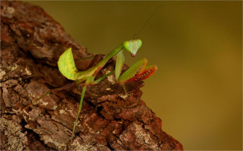 10 Int 1st Place Praying Mantis by Dave Dale