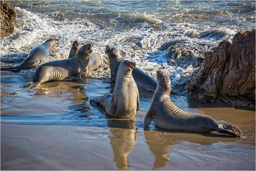 Elephant Seals Squaring Up by Edward Kosinski