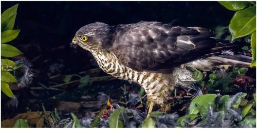 Female Sparrow Hawk at Her Supper by Roger Craven
