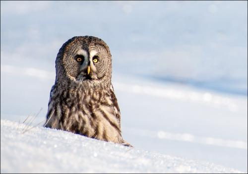 Great Grey Owl by Rod Bunyan