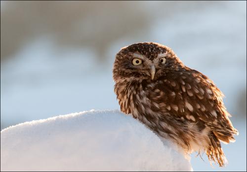Little Owl by Rod Bunyan