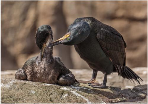 Shag Preening its Chick by Roger Craven