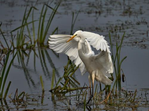 07 HC Adv Great Egret by Roger Craven