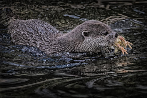 01 First Place Adv Otter with Catch by Edward Kosinski