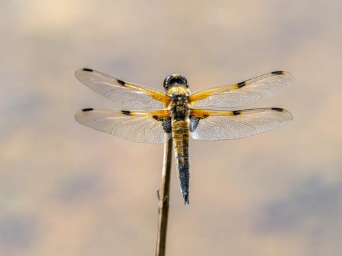 10 Four Spotted Chaser by Dave Shrubb