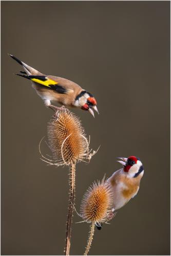 Goldfinch Dispute