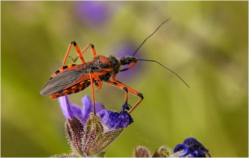 Assassin Bug by Jim Shaw