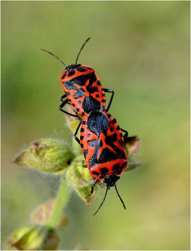 Mating Fire Bugs by Jim Shaw