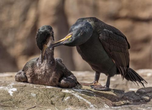 Shag Preening Chick by Roger Craven