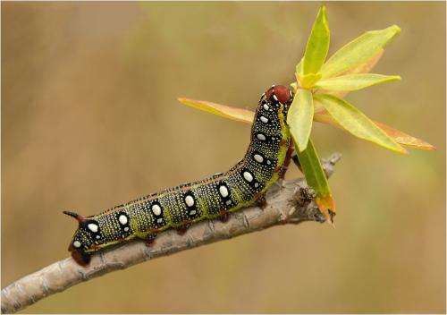 Spurge Hawkmoth Caterpillar by Ji9m Shaw