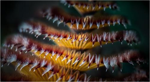 Underwater macro of Christmas Tree  Worm by Dave Shrubb