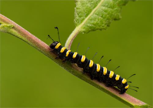 Alder Moth Caterpiller by Jim Shaw