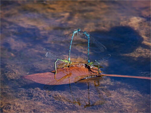 Azure Damselflies Mating by Dave Shrubb