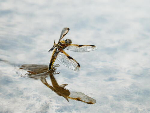 Four Spotted Chaser Ovipositing by Dave Shrubb