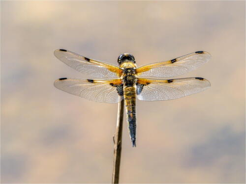 Four Spotted Chaser by Dave Shrubb
