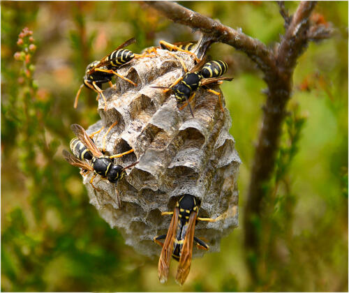 Heather Wasps Nest Building by Jim Shaw