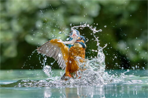Kingfisher with Prey by Dave Shrubb
