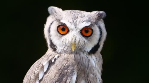 Trench The Northern White Faced Owl