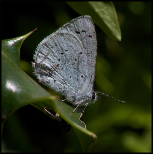 Int HC. Holly Blue Butterfly by Sheila Morris