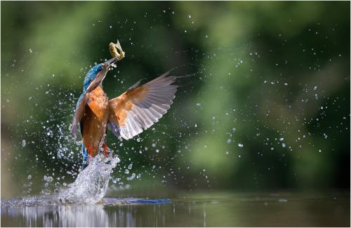Adv 1st Kingfisher with Minnow by Howard Broadbent
