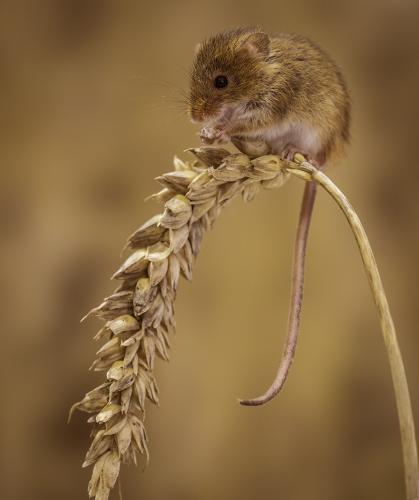 09 Harvest Mouse Feeding; Brian Kerrison