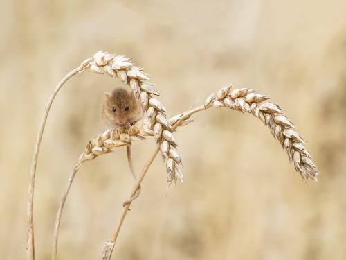 Harvest Mouse; Michael Warrender