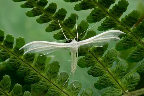 White Plume moth on a fern; Bill Spencer